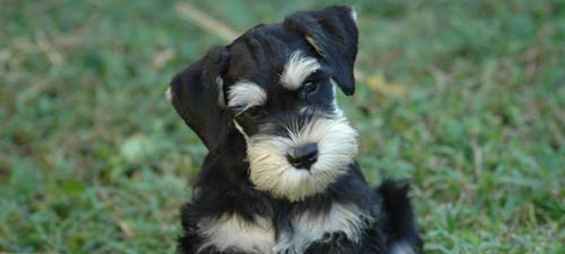 New Jersey Schnauzer Rescue Network Home